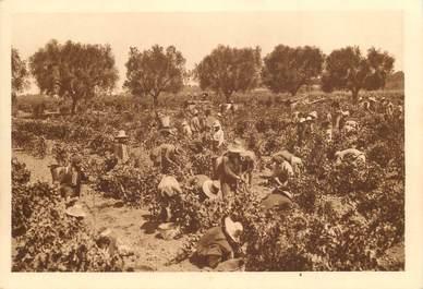 """CPSM ALGERIE """"Domaine de la Trappe de staouëli près Alger, les vendanges"""""""