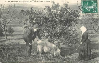 CPA La Récolte des Truffes / COCHON