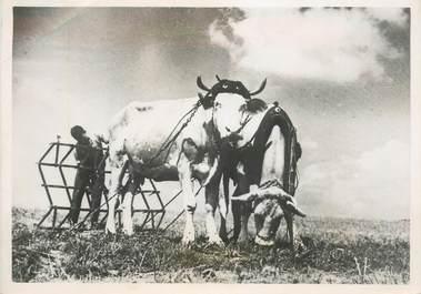 """PHOTO ORIGINALE / THEME AGRICULTURE """"Attelage de boeufs travaillant la terre"""""""