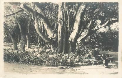 """CPA ALGERIE """"Alger, Jardin d'Essai Ficus"""""""
