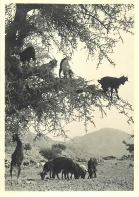 """CPSM / PHOTO LE MAROC ARTISTIQUE / Ed. ART MAROC """"Chèvres dans un Arganier"""""""