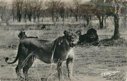 """CPSM AFRIQUE """"Lions et lionnes"""""""