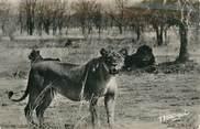 """Afrique CPSM AFRIQUE """"Lions et lionnes"""""""