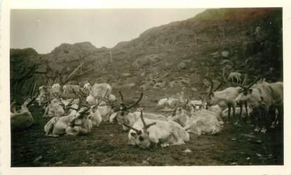 """CPA / PHOTOGRAPHIE NORVEGE 1958 """"Troupeau de rennes"""""""