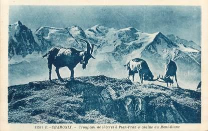 "CPA FRANCE 74 ""Chamonix, troupeau de chèvres à Plan Praz"""