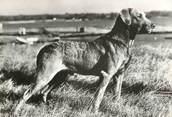 """Animaux CPSM  CHIEN """"Labrador"""" / OBLITÉRATION CACHET PORT PAYE  / PUBLICITÉ"""